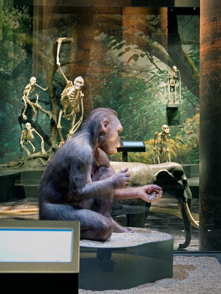 Homo Habilis och apornas släktträd